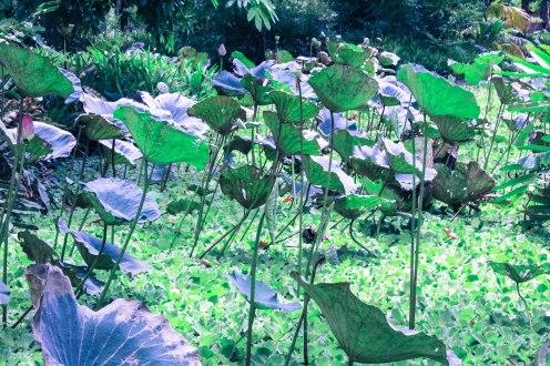 lily-jungle-buddhamonthon