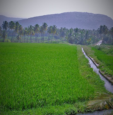 Rice Fieldz, Kumily 3