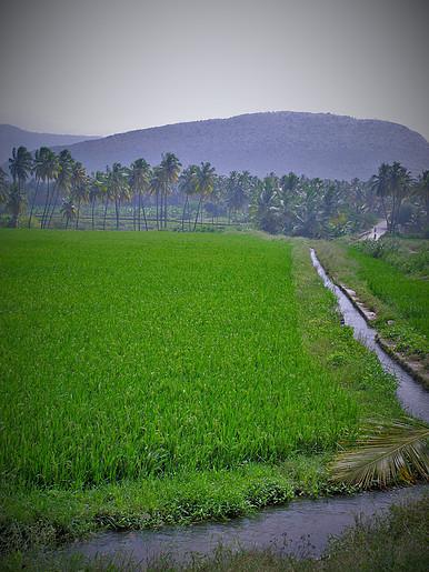 Rice Fieldz, Kumily