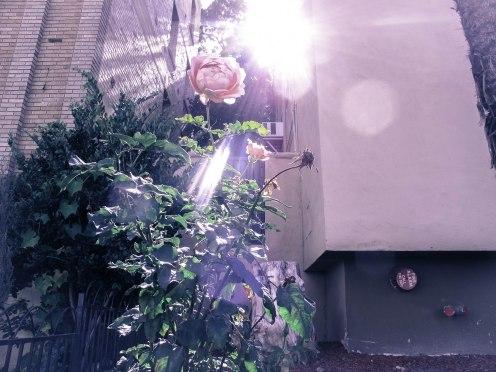 rosey-la