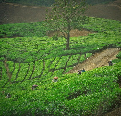 Tea Leaves, Munnar 3