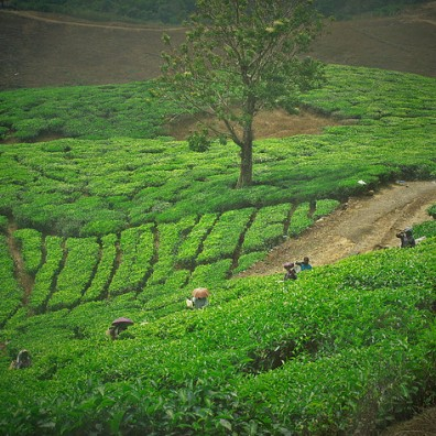 Tea Leaves, Munnar