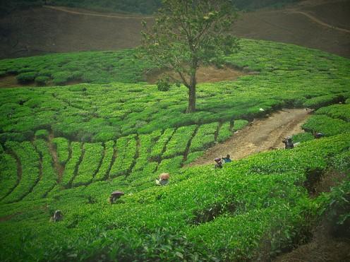 Tea Leaves, Munnar