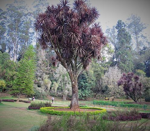 trufula trees, Ooty 2