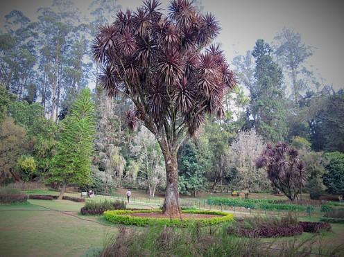 trufula trees, Ooty 3