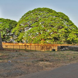 Eternal Tree, Palakkad Fort