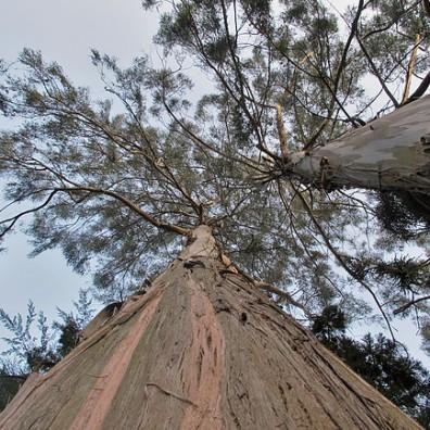 Eucalyptus, Ooty
