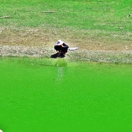 Green Ama, Oozy
