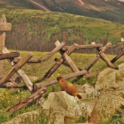 Groundhog, Rocky Mtn National Park, CO