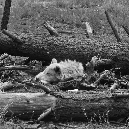 Log Slumber, Bearizona