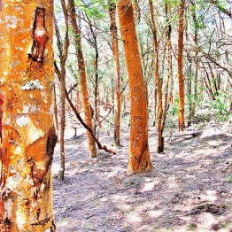 Red Bark, OOty