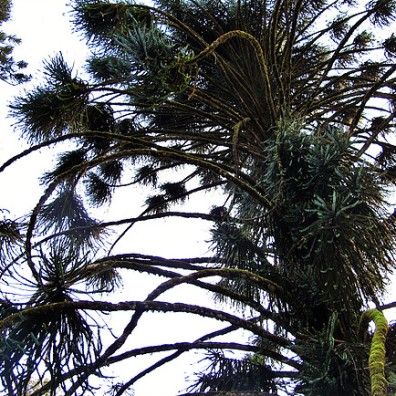 Spiny Pine, Ooty